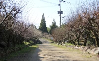 臥龍梅の並木道