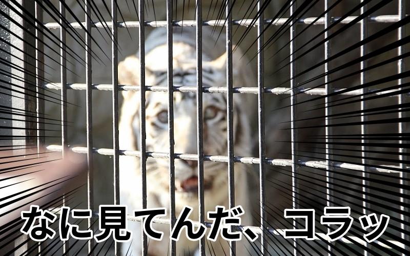 威嚇するホワイトタイガー