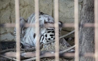 寝転ぶホワイトタイガー