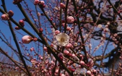 少し咲いた梅